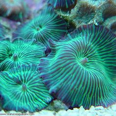 Green Stripped Mushroom coral