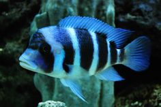"90 gallon ""mostly"" african saltwater show tank Aquarium Fish For Sale, Cichlid Aquarium, Lake Tanganyika, Freshwater Aquarium Fish, African Cichlids, Blue Things, Fish Tanks, Tropical Fish, Blue Bird"