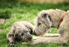 Irish Wolfhound with Pup Big Dogs, Cute Dogs, Dogs And Puppies, Doggies, Irish Wolfhound Puppies, Irish Wolfhounds, Scottish Deerhound, Dog Rules, Hound Dog