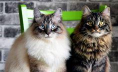 Siberian Cats Odysse