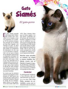 El gato Siamés, es nuestro protagonista felino de la edición 83, también conocido como el gato-perro por su afinidad con las personas con las que conviven y su afición a conversar. Conoce más sobre el #siames en #mascotasrevista