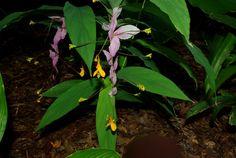 "Globba ""Grandiflora"""