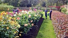 Apprentices Patrick, Robert & Lewis tendering a Dahlia & Chrysanthemum show bed Chrysanthemum, Dahlia, Your Image, Bed, Stream Bed, Dahlia Flower, Dahlias, Bedding