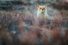 winter-fox-photos-russian-miner-ivan-kislov-chukotka-12