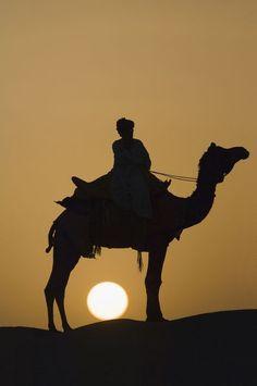 Camel at sunset in the Thar desert, Rajasthan, India