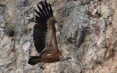 Das ist ein Gänsegeier im Anflug auf das Nest!