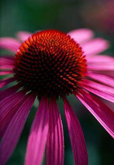 ✯ Echinacea purpurea 'magnus'