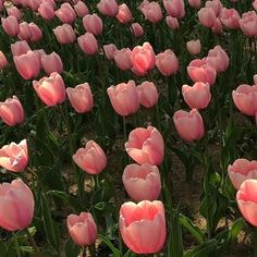 Flower aesthetic - Pretty tulips rising towards the sun Ahhh tulips tulips garden garden tulips planting Spring Aesthetic, Nature Aesthetic, Flower Aesthetic, Aesthetic Plants, Pretty In Pink, Beautiful Flowers, All The Bright Places, Plants Are Friends, No Rain