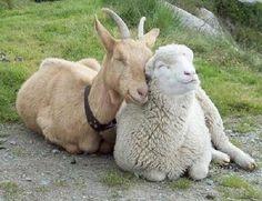La chèvre et le mouton