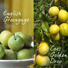 Plum Double Greengage and Coes Golden Drop