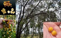 Quinine Bush Bitter Bark Petalostigma Pubescens Seeds