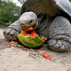 Galapagos tortoise munches on a juicy watermelon
