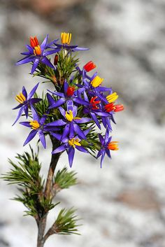 Blue tinsel lily