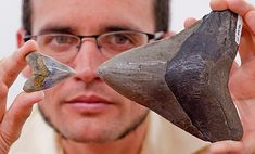 Science Stories: Florida Museum scientists discover megalodon shark nursery: Dana Ehret compares the size of a juvenile megalodon tooth from the Gatun Formation, Panama, left, with an adult megalodon tooth from Florida. © Photo by Jeff Gage, Florida Museum of Natural History