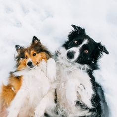 Border Collie and Sheltie - findmomo:  Just a couple of bros rolling around in the snow.