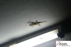 Gecko an der Wand Wands, Thailand, Tour Operator, Viajes, Animales, Walls, Fairy Wands, Sticks