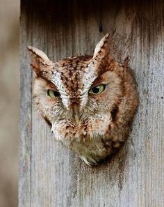 Bird House Kits, Owl House, Spotted Owl, Owl Box, Screech Owl, Barred Owl, Bird Aviary, Great Horned Owl, Fan Art
