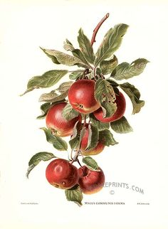 Antique print: picture of Apples - Malus communis forma