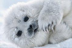 Baby seal,harp seal,baby animals,most adorable baby animals,cute baby animal Baby Harp Seal, Baby Seal, Cute Baby Animals, Animals And Pets, Beautiful Creatures, Animals Beautiful, Cute Seals, Seal Pup, Pet Birds