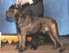 10 Things To Know Before Judging The Cane Corso Cane Corso Italian Mastiff, Cane Corso Mastiff, Cane Corso Dog, Mastiff Breeds, Dog Breeds, Japanese Mastiff, Dog Muzzle, Huge Dogs, Dogs