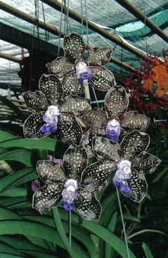 Blue Vanda Orchids, Singapore by Erika Villa, via Flickr - Google Search