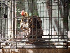 A broody hen in the broody breaker