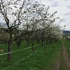 Kirschbäume und so. by rednix