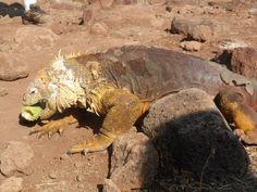 Iguana terrestre de Galápagos, foto de nuestra estudiante Dhamee Tailor