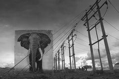 Um dia, os animais selvagens só existirão na memória de elefante | P3