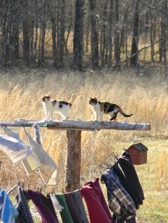 Clothes Line Cats Country Farm, Country Life, Country Living, Country Bumpkin, Crazy Cat Lady, Crazy Cats, I Love Cats, Cute Cats, Gato Calico
