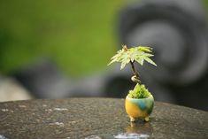 """""""Bonsai on display""""- Chocolate Bonsai-Bonsai on display Bonsai Tree Types, Indoor Bonsai Tree, Bonsai Art, Bonsai Plants, Bonsai Garden, Bonsai Trees, Houseplant, Mame Bonsai, Mini Plants"""
