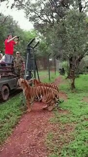The man in red making photo of the tree, not of the tiger! :)