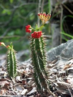 Google Image Result for http://images.wildmadagascar.org/pictures/bemaraha/blooming_cactus.JPG