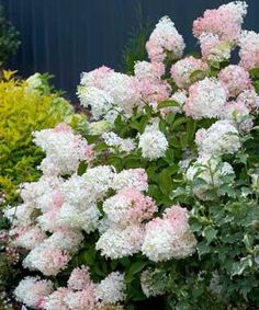 Little Lamb Hydrangea - flowers in summer, flowers start off white and age pink