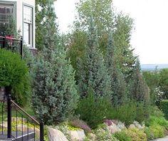 Columnar Colorado blue spruce in urban garden