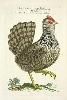 JL Frisch Antique Bird Prints 1733