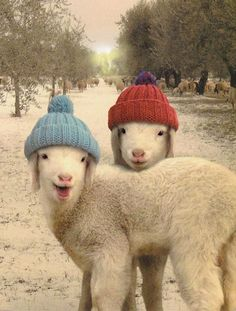 Image about sheep in Animals for the love of them by Belaseed Cute Baby Animals, Animals And Pets, Funny Animals, Farm Animals, Animal Pictures, Cute Pictures, Sheep And Lamb, Baby Sheep, Cute Sheep