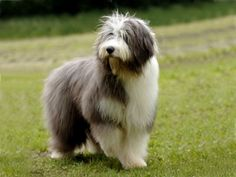 Polish lowland sheepdog > From Poland ...... Use today: Companion, herding ...... Colours: Any colour