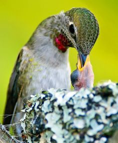 Anna's Hummingbird Feeding Her Chick Pretty Birds, Love Birds, Beautiful Birds, Animals Beautiful, Cute Animals, Hummingbird Photos, Hummingbird Nests, Art Beauté, Mundo Animal