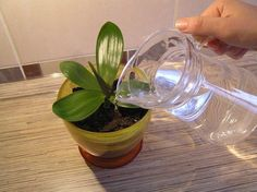 Regular watering orchids garlic + succinic acid (for viewers who are not familiar with irrigation) Growing Orchids, Apartment Balcony Decorating, Small Farm, Plant Care, Houseplants, Aloe, Glass Vase, The Cure, Organic