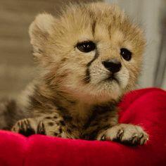 Zoo Animals, Cute Baby Animals, Funny Animals, Cheetah Cubs, Cheetah Animal, Baby Cheetahs, San Diego Zoo, Happy Baby, Funny Animal Videos