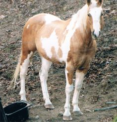 Paint (Tobiano) For Sale | Horse Classifieds | Tobiano Stallion For Sale
