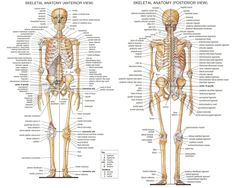 Bones Of The Body Anatomy Skeletal System Labeled Diagrams Of The Human Skeleton. Bones Of The Body Anatomy Human Anatomy Of The Human Body Contains Many Different Systems. Bones Of The Body Anatomy Guide To All The Bones In Your… Continue Reading → Human Skeleton Bones, Skeleton Anatomy, Bones Human, Skeleton Arm, Human Body Anatomy, Human Anatomy And Physiology, Anatomy Bones, Anatomy Organs, Body Bones