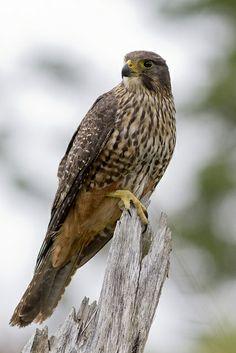 New Zealand Falcon (Falco novaeseelandiae) Female New Zealand Falcon All Birds, Birds Of Prey, Hawk Bird, Reptiles And Amphibians, Flora And Fauna, Beautiful Birds, Eagles, New Zealand, Bird Feathers