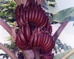 red-banana-credit-ncrb.jpg (500×400)