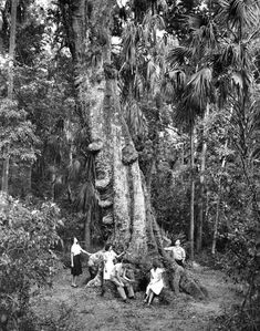 Visitors gather around the base of a giant laurel oak at Highlands Hammock State Park near Sebring, Florida (ca. 1950s). | Florida Memory