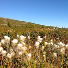 Cottongrass field in Lapland.  Finland.