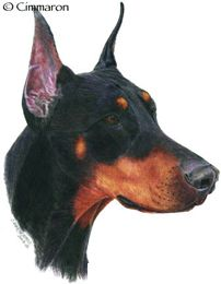 Dobermann - This is a hand drawn illustration by Christine Ward-Weber. All Breeds Of Dogs, Irish Setter, Dogs Golden Retriever, Dog Art, Pet Dogs, Corgi, How To Draw Hands, Drawings, Hand Drawn