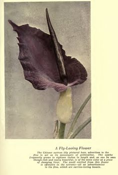 Luther Burbank: Chinese carrion lily!