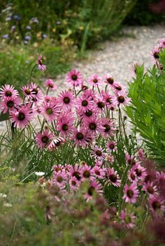 Echinacea Rocky Top Hybrids  (Bluestone Perennials)